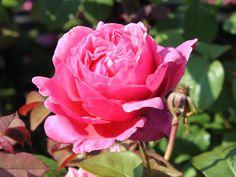 Rose 'Elbflorenz' - Google-Suche