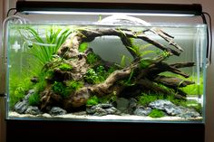"""aquariadise: """" fuck-yeah-aquascaping: """" My new project, Fabulous Decay, 2 weeks old, Plants started to grow, in about two weeks I'll add fishes. The cypherus in the back may be replaced with… Aquarium Landscape, Nature Aquarium, Planted Aquarium, Aquarium Fish, Aquarium Aquascape, Aquascaping, Betta Tank, Betta Fish, Fish Tank"""