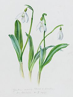 Royal Horticultural Society - Product Details - Galanthus: Pack of 10 Christmas Cards (Exclusive to RHS) Botanical Flowers, Botanical Prints, Botanical Drawings, Christmas Garden, Crazy Friends, Coloured Pencils, Garden Club, Bullet Journal Inspiration, Botanical Illustration