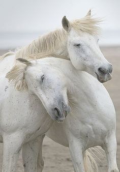 Welcome to Nature-and Culture (since ! There are 108 pieces of music to listen to, and you can choose your favourite. All The Pretty Horses, Beautiful Horses, Animals Beautiful, Animals And Pets, Funny Animals, Cute Animals, Cute Horses, Horse Love, Horse Pictures