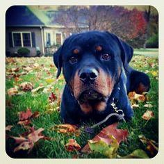 #Rottweiler #love #kapone