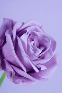 What Is the Difference Between Regular Lavender Roses and Sterling Roses? Beautiful Rose Flowers, Lavender Flowers, Exotic Flowers, Amazing Flowers, Purple Flower Names, Purple Flowers, Cut Flowers, Sterling Roses, Sterling Silver