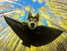 """1,880 Likes, 33 Comments - The Huskies diary  (@huskiesdiary) on Instagram: """"I'm a Batman  What an incredible shot captured by  @desertstorm_trooper  Follow and tag your photos…"""""""