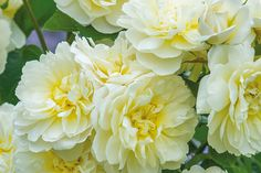 'Imogen', a newly-released David Austin rose at the 2016 Chelsea Flower Show.