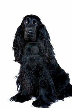 black cocker spaniel