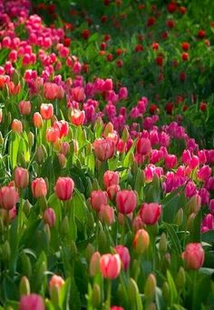 How beautiful do tulips look en masse ? They have to be one of my favourite flowers. Hope you all have a wonderful day. Stacey A Bates Tulips Garden, Daffodils, Planting Flowers, Flower Power, My Flower, Spring Scene, Gras, Spring Garden, Spring Nature