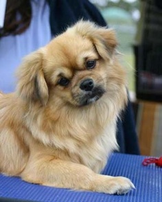Awh, so cute and cuddly! It's the Tibetan Spaniel DCT for January 12 ...
