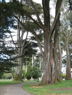 The tall, beautiful trees in Golden Gate Park.  These are mighty fine trails for running. // I absolutely love this park. If I ever moved to norcal I would do my morning cardio here.