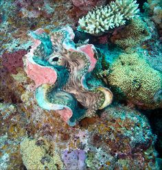 ˚Giant Clam - Tridacna gigas - Great Barrier Reef - Queensland, Australia