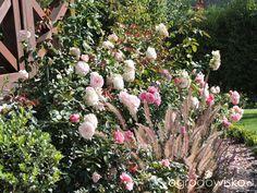 Zielonej ogrodniczki marzenie o zielonym ogrodzie - strona 836 - Forum ogrodnicze - Ogrodowisko