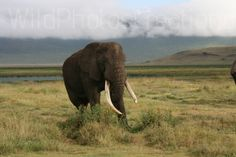 Wild Africa Bull Elephant Group Photo Print by WildPhotoCreations