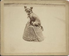c.1900s photo of Gippy, a long-haired Chihuahua, posing for his picture atop an overturned woven basket. On verso: Gippy —died of old age. Stamp of G. Lindsay is in upper right-hand corner, I assume that's the photographer. From bendale collection