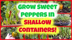 How To Grow Sweet Peppers in Really SHALLOW Containers #gardening #garden #gardens #DIY #landscaping #home #horticulture #flowers #gardenchat #roses #nature