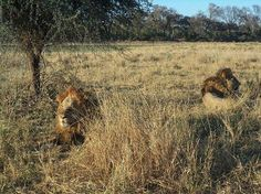 The dominant male lions near Gomoti Tented Camp Okavango Delta, Male Lion, Tent Camping, Lions, Wilderness, Safari, Country Roads, Journey, Tours
