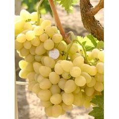 ARKADIA rezistentný stolový vinič