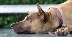 Vous avez remarqué un sérieux changement de comportement chez votre chien? Vous pensez à une déprime? Ne paniquez pas, des comportementalistes ont trouvé les solutions pour réussir à sortir votre compagnon de sa dépression.