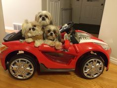 From left: Harley, Brody and Buddy | Shih Tzu Friendzy