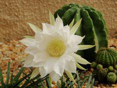 """Flor branca do cactus em meu jardim. """"White flower of cactus in my garden"""""""