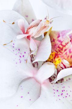 HIDE n SEEK: Orchid Mantis (Barcroft Media / Getty Images)
