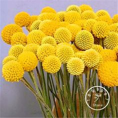 Loss Promotion! 100 Pieces/Lot Heirloom Craspedia Globosa Drumstick Perennial Billy Buttons Garden Yellow Flower seeds