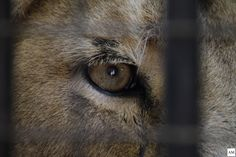Lion Eyes at Rotterdam Zoo. by Anne Marleen Olthof on 500px