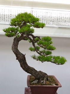 Bonsai Tree Care, Indoor Bonsai Tree, Bonsai Art, Bonsai Garden, Garden Trees, Pine Bonsai, Plantas Bonsai, Japanese Tree, Bonsai Styles