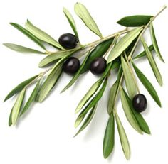 Olive branch with leaves and black olives