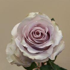 Rose light silver.  #perrifarms #roses #rose #wedding #weddings #florist #florists #floral #flowerstagram #flowers #flower #ecuador