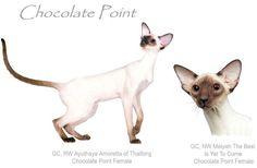 Chocolate Point Siamese
