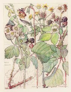 1910 Botanical Print by H. Isabel Adams: Rose Family, Blackberry, Bramble, Wood & Water Avens