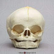 Fetal Human Skull 40 Weeks