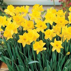 Trumpet Daffodil Golden Harvest - All About Gardens Daffodil Bulbs, Bulb Flowers, Daffodils, Daffodil Flowers, Spring Flowers, Tulips, Autumn Flowering Plants, Fall Plants, Yellow Flowers