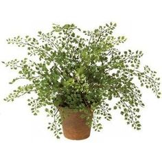 images of potted maiden hair fern - Google Search