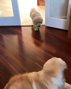 puppy came with cat OS installed : goldenretrievers Funny Animal Memes, Cute Funny Animals, Cute Baby Animals, Funny Dogs, Animals And Pets, Cute Cats, Cute Dogs And Puppies, I Love Dogs, Chien Golden Retriever