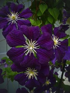 Clematis.             سحر !!
