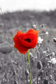 At the going down of the sun, and in the morning, we will remember them. Stress Less, Lest We Forget, Great Love, Color Splash, Flowers, Sun, Colour, History, Color