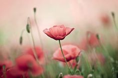 Delicate Poppies Wall Mural, custom made to suit your wall size by the UK's for wall murals. Custom design service and express delivery available. Large Floral Wallpaper, Blue Marble Wallpaper, Flower Wallpaper, Wall Wallpaper, Handyhülle Samsung Galaxy S7, Fearfully Wonderfully Made, Flower Meanings, Pink Poppies, Poppy Flowers