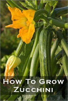 How to grow zucchini - maybe this year I might actually have one to eat!