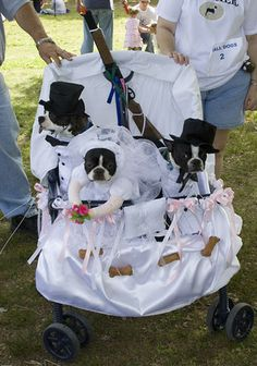 My gawd, this really is too much. :) But cute all the same. Boston Terrier Costume, Boston Terrier Love, Boston Terriers, Dog Halloween Costumes, Pet Costumes, Crazy Dog, Cute Creatures, Dog Treats, Beagle