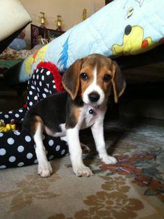 First day the beagle still calm