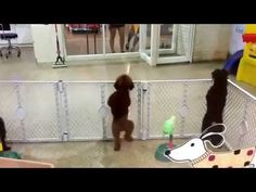 Happy Dog Disco Dances as Guardian Arrives!! LOL Get this clip free at http://FreeAnimalVideo.org
