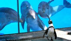 Dolfijnen zien voor het eerst een pinguïn. MSN Opmerkelijke foto's van de week