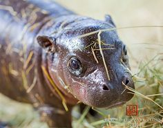 Baby Pygmy Hippo...By:zooborns