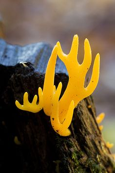 Yellow Antler fungi (Calocera viscosa)