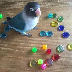 My blue bird ! ボン(夢中。) #bird #bluebird #parakeet #sunnyday #bon #torimizuki