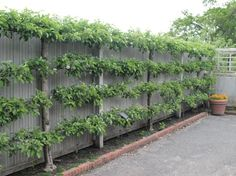 put espalier fruit trees on my backyard fences - LOVE THIS!!  Not sure I can pull it off in the desert..but I might have to give it a try!