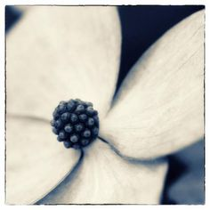 Photographic Print: Dogwood Portrait by Angela Cameron : Square Art, Fine Art Photography, Stud Earrings, Pretty, Floral, Jewelry, Design, Jewlery, Jewerly