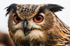 Eagle Owl, Bubo Bubo, Owl, Bird