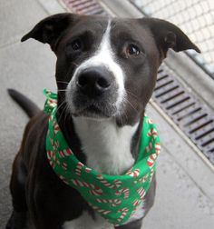 TO BE DESTROYED - 12/14/14 Brooklyn Center -P My name is LAMAR. My Animal ID # is A1021879. I am a male black and white labrador retr and pit bull mix. The shelter thinks I am about 4 YEARS old. I came in the shelter as a STRAY on 11/29/2014 from NY 11236, owner surrender reason stated was STRAY.