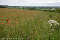 Friday Flora – Papaver rhoeas, the field poppy Cotswold Wildlife Park, Replant, Wildflowers, Planting, Poppy, Fields, Nest, This Is Us, Flora